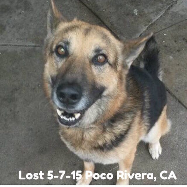 Lostdog 5 7 15 Pocorivera Ca Germanshepherd M Nhkmq 5016565501