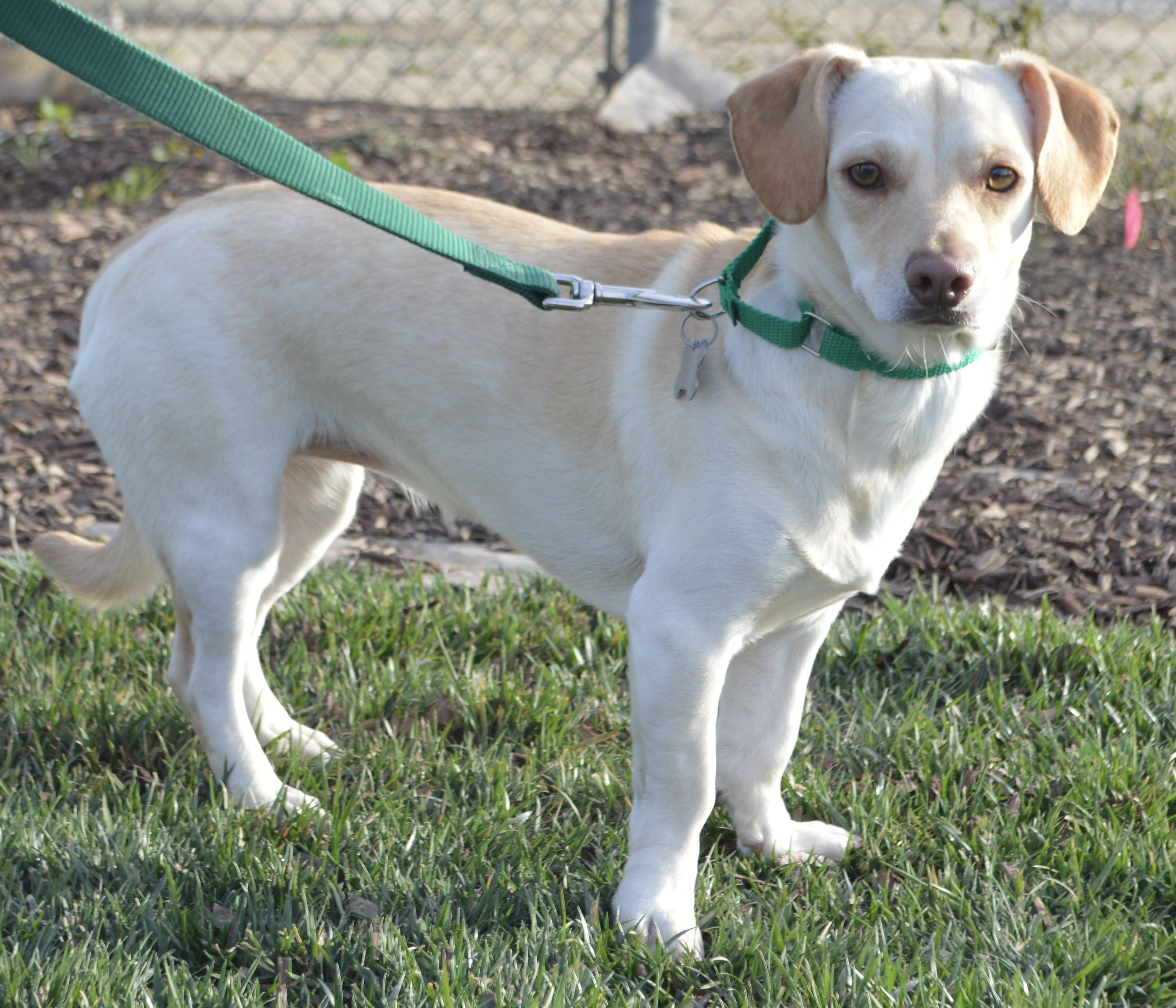 Doxle Dog For Adoption In Palo Alto Ca Adn 454497 On Puppyfinder Com Gender Female Age Young Dog Adoption Dogs Adoption