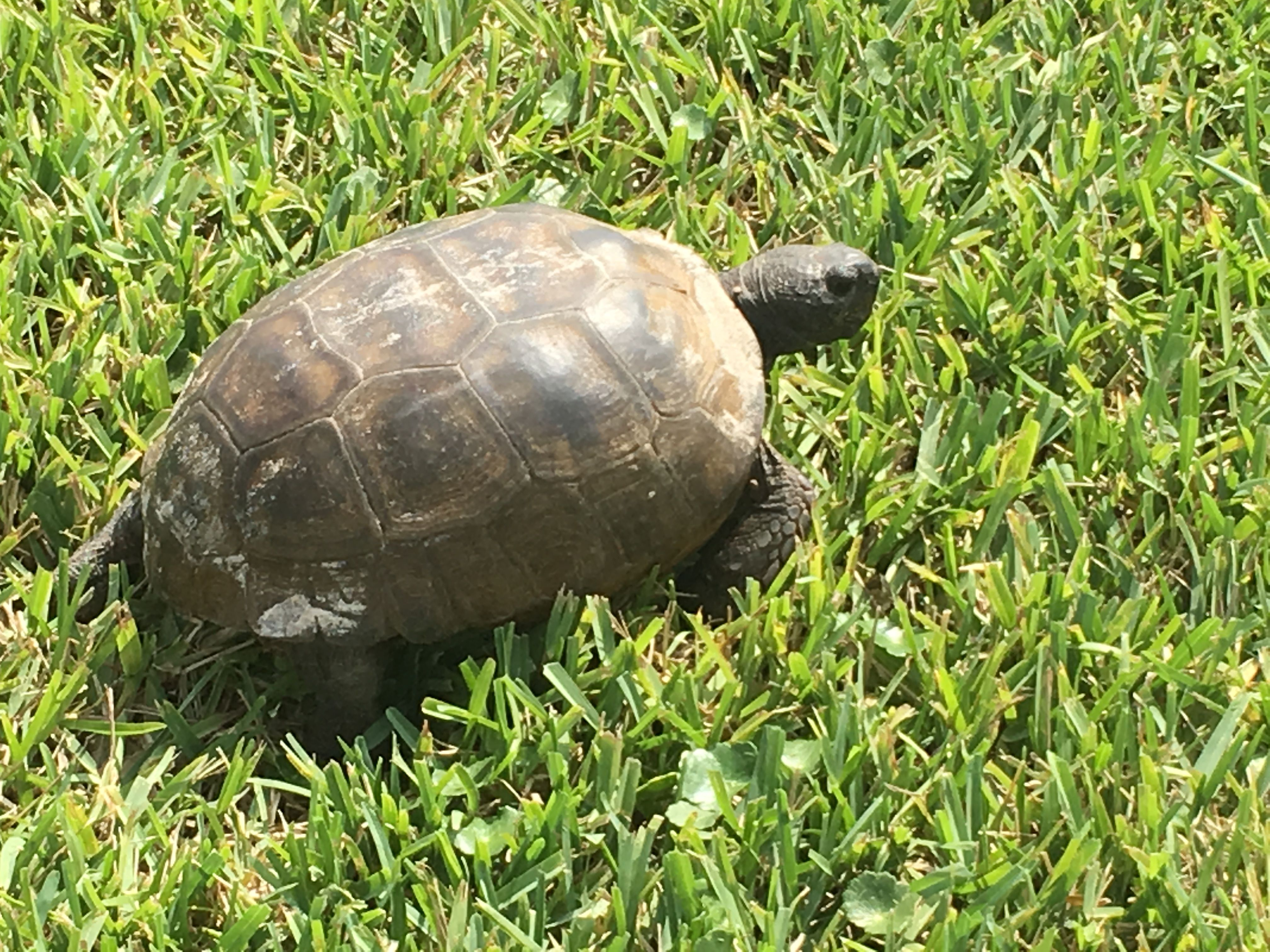 One of our many resident turtles or Gopher Tortoises here