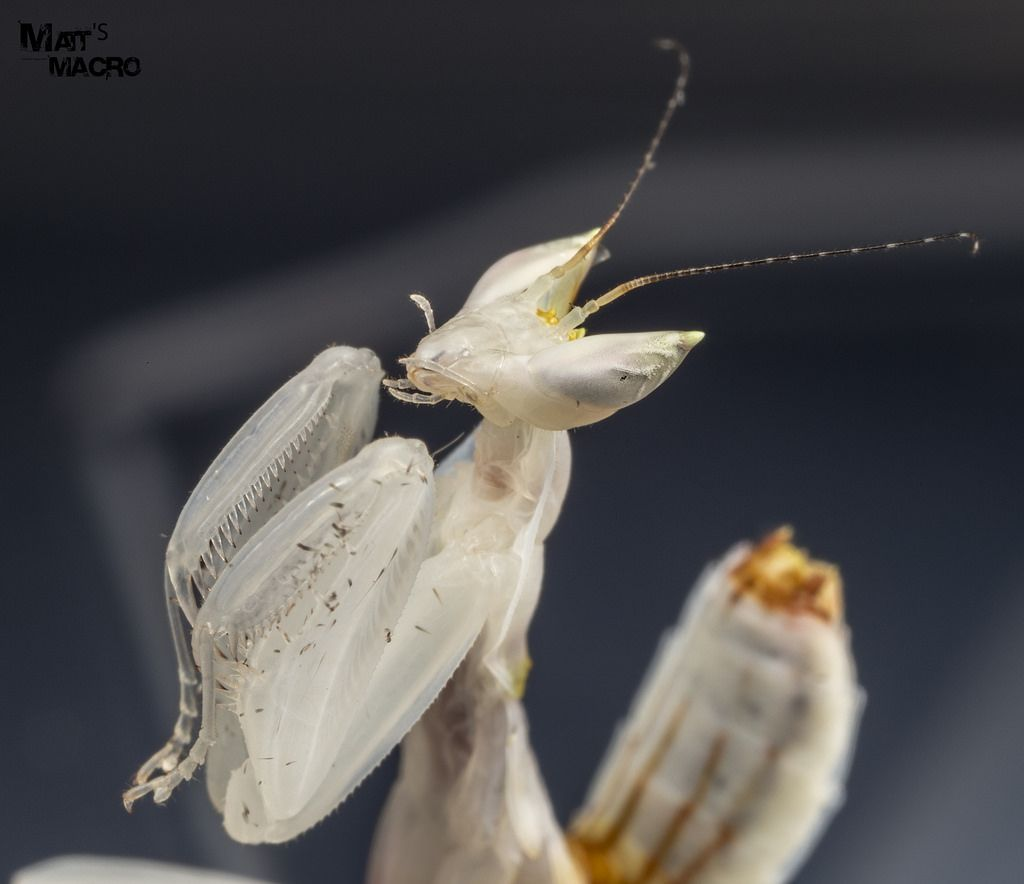 Orchid Mantis L3 (With images) Orchid mantis, Hello to
