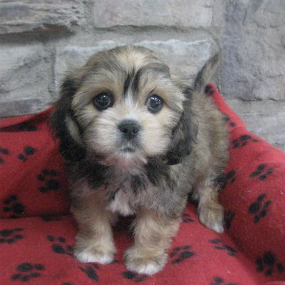 Cavalier King Charles Lhasa Apso Mix Furry Friend Baby Animals