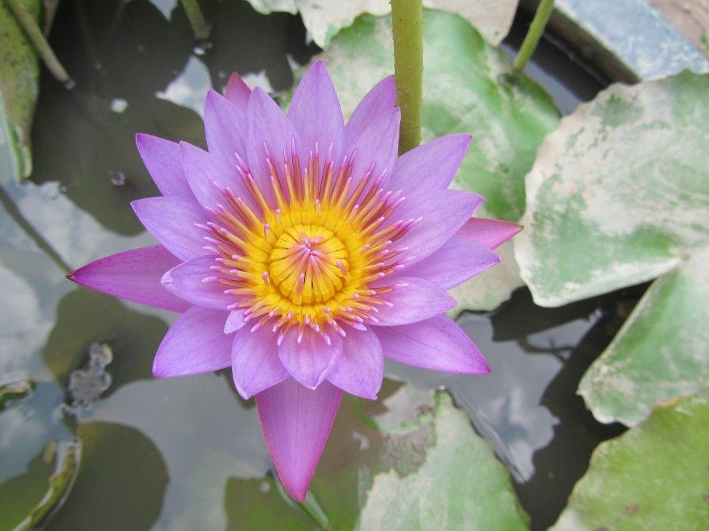 La Fleur De Lotus Est Le Symbole Du Bouddhisme Mais