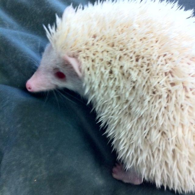 albino hedgehog | Rare albino animals, Albino animals ...
