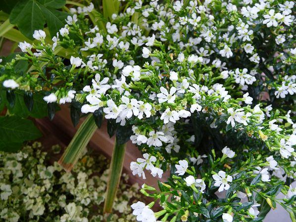 Petit buisson de fleurs blanches du cuphea hyssopifolia for Petite plante verte exterieur