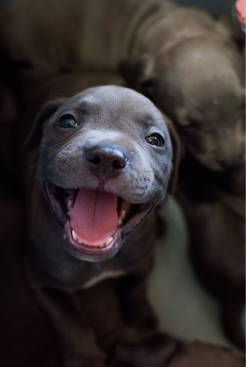 Pit Bull Puppy Smiles Are The Best Pit Bull Pics Dogs
