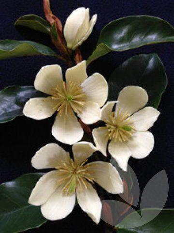 Magnolia Laevifolia Cinderella Tm Parcin Syn Michelia Library
