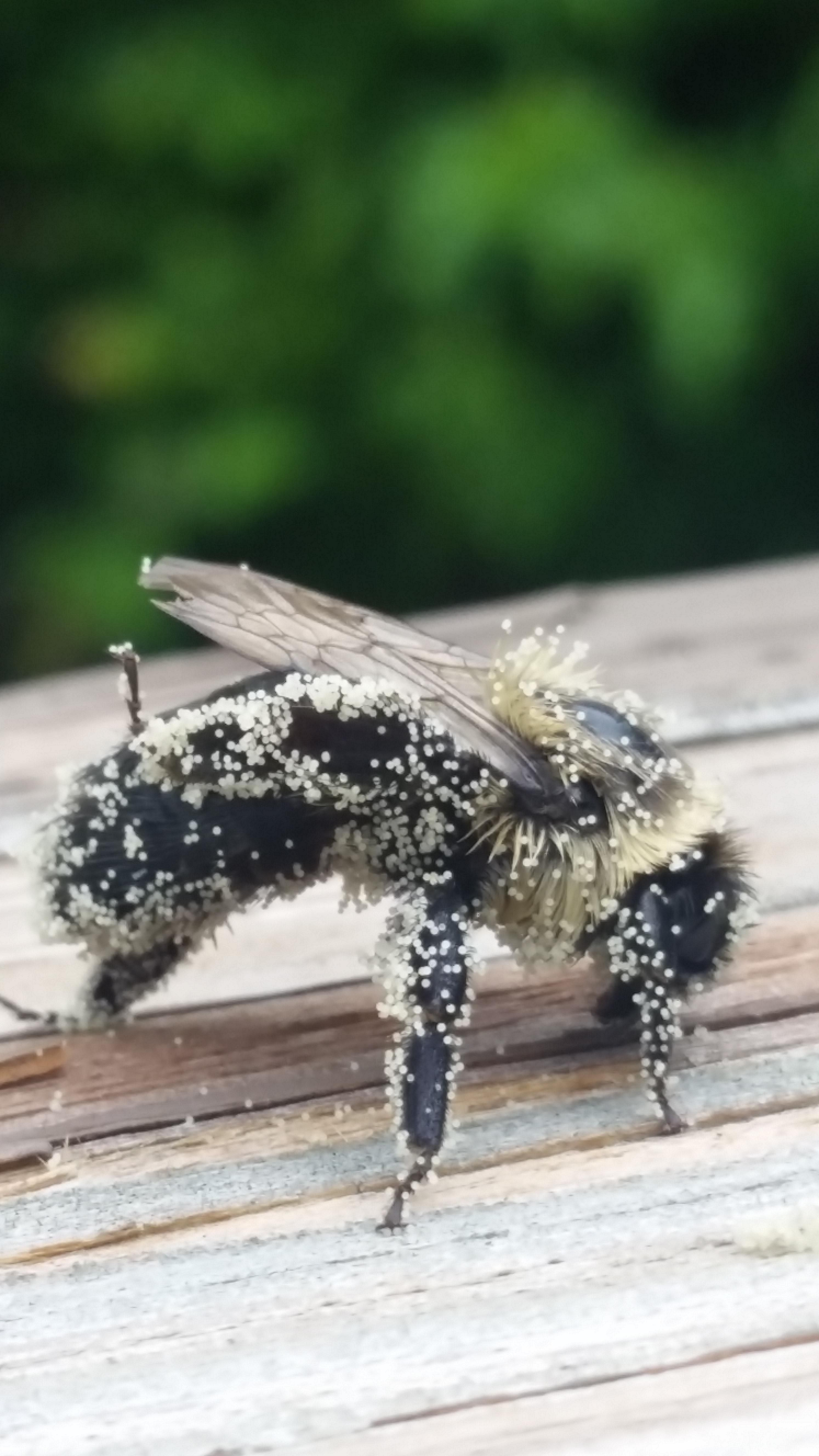 I found a bee covered in pollen outside on my porch and it posed for a nice picture for me. - Imgur