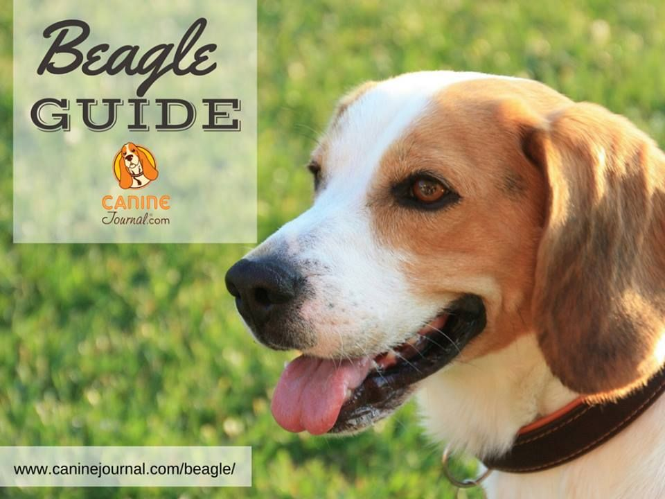 Beagle A Funny Hunting Breed Beagle Dog Breeds Hunting Humor