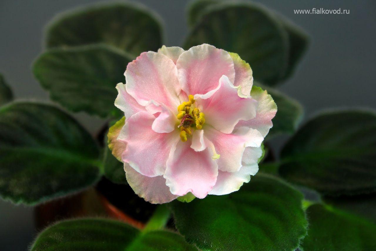 Фиалка АВ-Флорибунда (773-12) с сайта   African violets ...