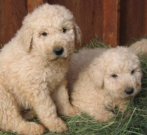 Koomoodor Dog Cutest Komondor Puppies Pictures All Puppies Pictures And Komondor Puppies Puppy Pictures Komondor