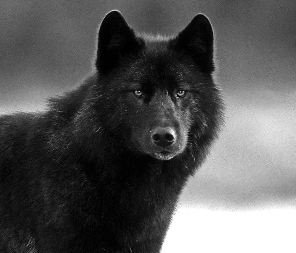 Black Wolf Face Wallpapers Wolf Wallpapers Pro Wolf Face Black Wolf Wolf Call