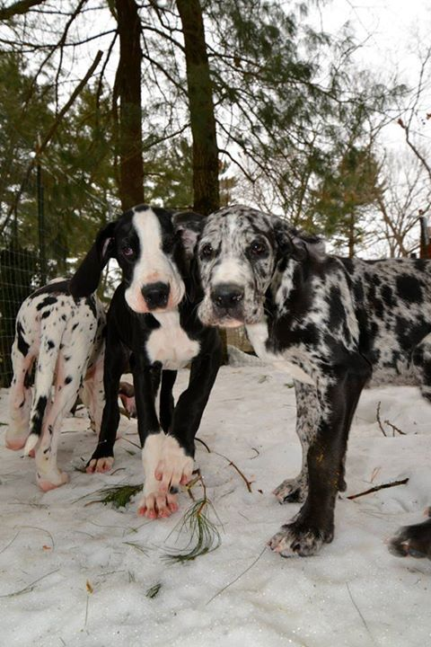 Great Dane Dogs in the snow