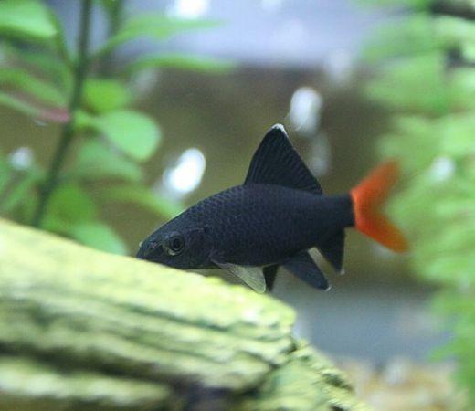 Red Tail Shark Epalzeorhynchos Labeo Bicolo Ornamental Fish Aquarium Fish Fish Tropical Fish
