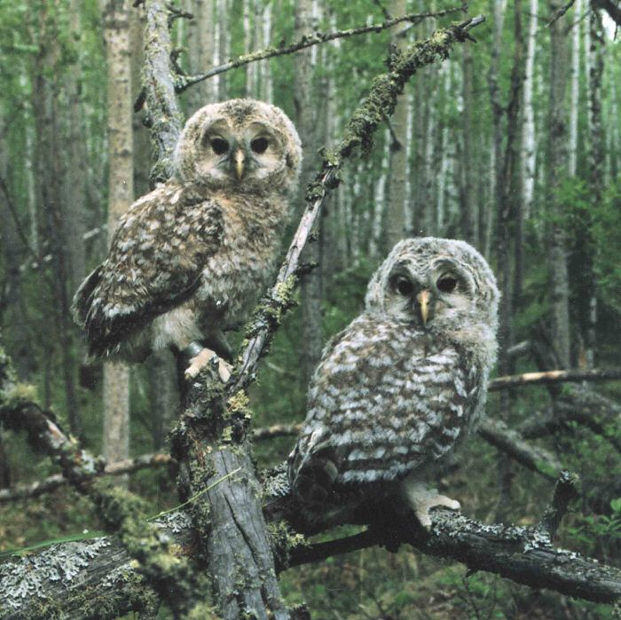 Juvenile Ural Owls (Strix uralensis). Photo by Jevgeni Ekimov.