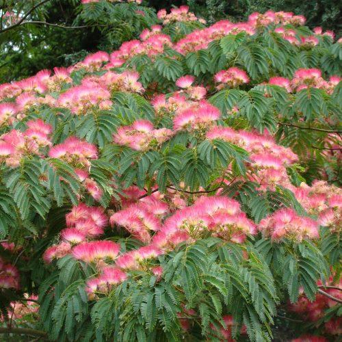 Albizia Julibrissin Red Silk Pb40 180 200 Plants Silk Tree Trees To Plant
