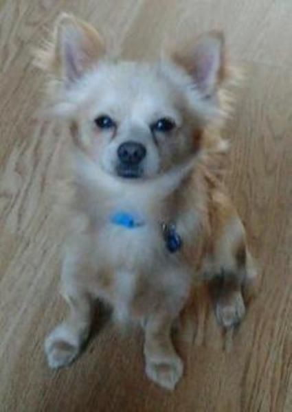 Handsome Cream Longhaired Chihuahua For Stud Bruno Ronald