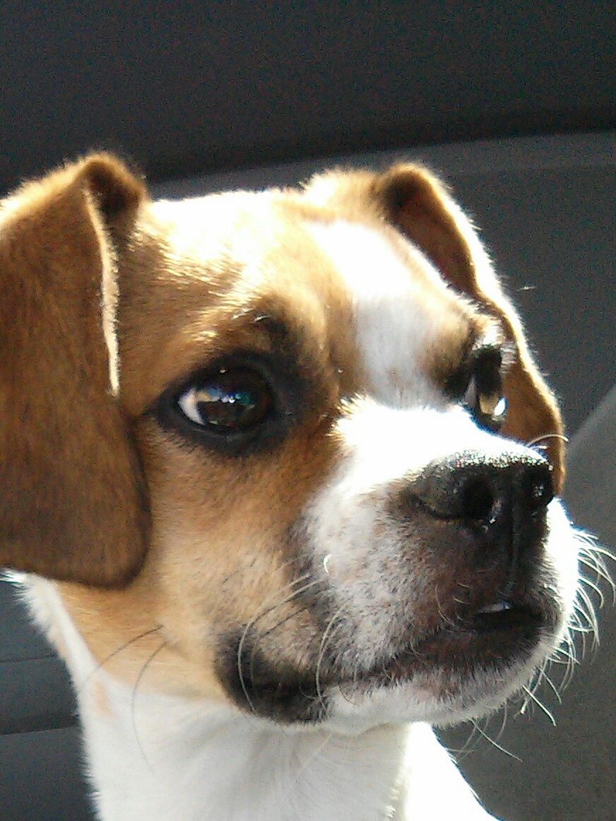 My Girl Bandit Aka Bandita Pocket Beagle Boston Terrier Mix