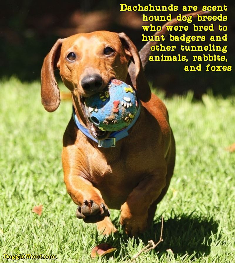 dachshunds are scent hound dog breeds who were bred to hunt badgers