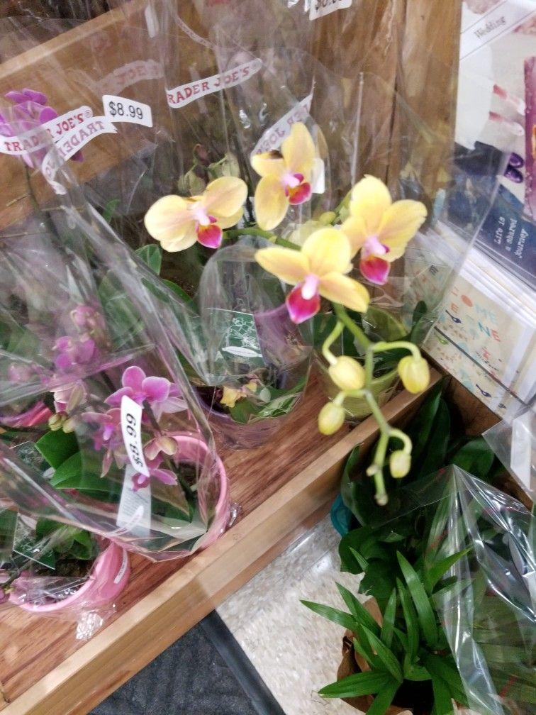 Trader Joe's Orchids Price : trader, joe's, orchids, price, Orchids, Trader, Price