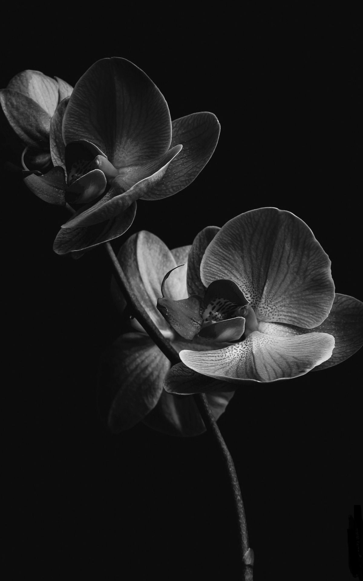 Journal Of A Nobody Black And White Flowers Orchid Wallpaper Black And White Wallpaper