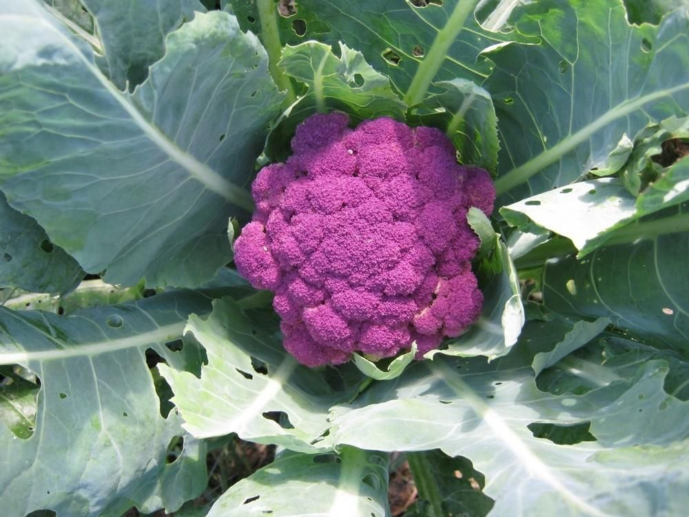 Purple of Italy Cauliflower from a Seed Swap Garden