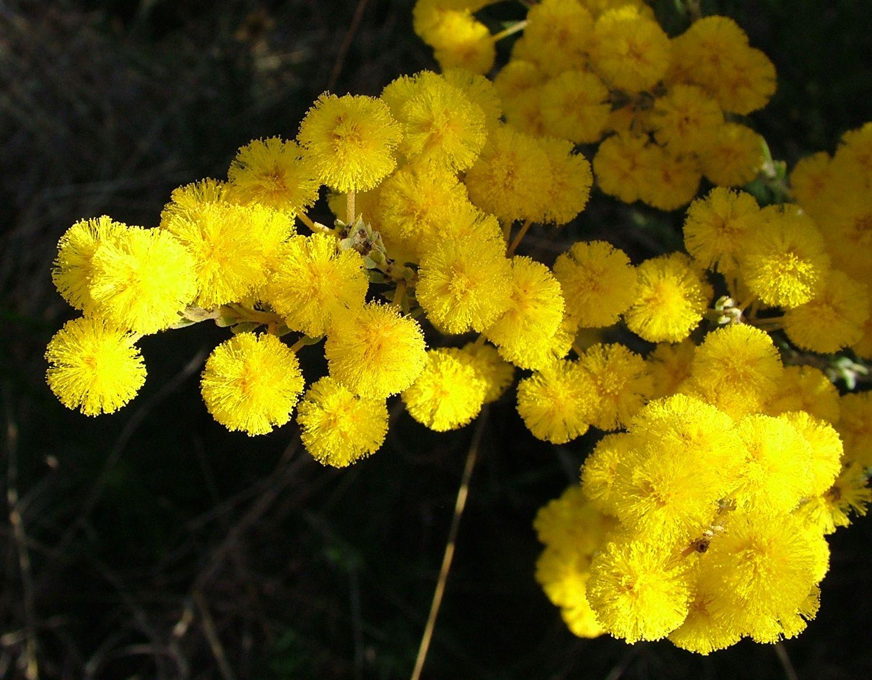 Acacia Conferta Crowded Leaf Wattle Is A Large Shrub Which Can Grow Up Native Plantsbright Yellowyellow Flowersacaciashrubsfrostpor