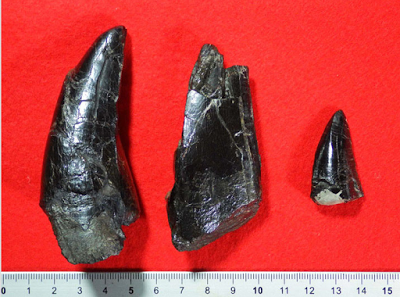 Teeth from huge tyrannosaur found in Nagasaki