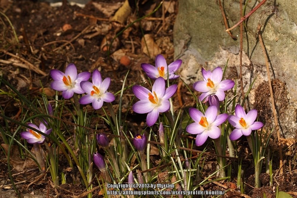 Photo of Early Crocus (Crocus tommasinianus 'Barr's Purple') uploaded by bonitin