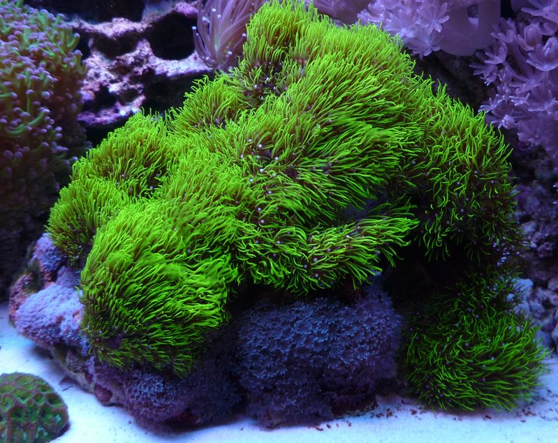 Pachyclavularia Violacea Green Star Polyp Saltwater Aquarium Fish Coral Reef Aquarium Fresh Water Fish Tank