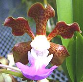 Vanda insignis - Copyright © Tropical Exotica. All Rights Reserved