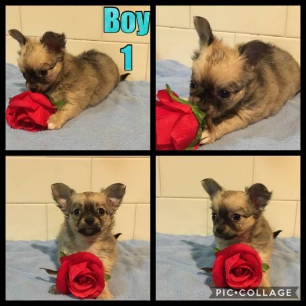 Chihuahuas Longhaired Male Pedigree 3 X Male Pedigree Long Haired Chihuahuas Dogs And Puppies Chihuahua Dogs Chihuahua