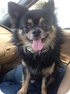 Chihuahua Mix Dog For Adoption In Fort Wayne Indiana Gizmo