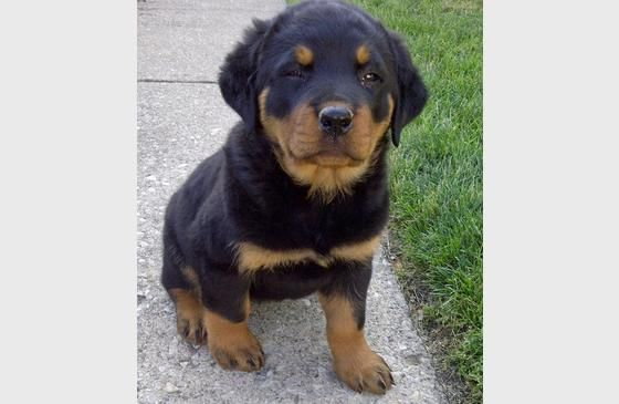 Love When They Do The Squinty Eye Thing Rottweiler Love Rottweiler Puppies