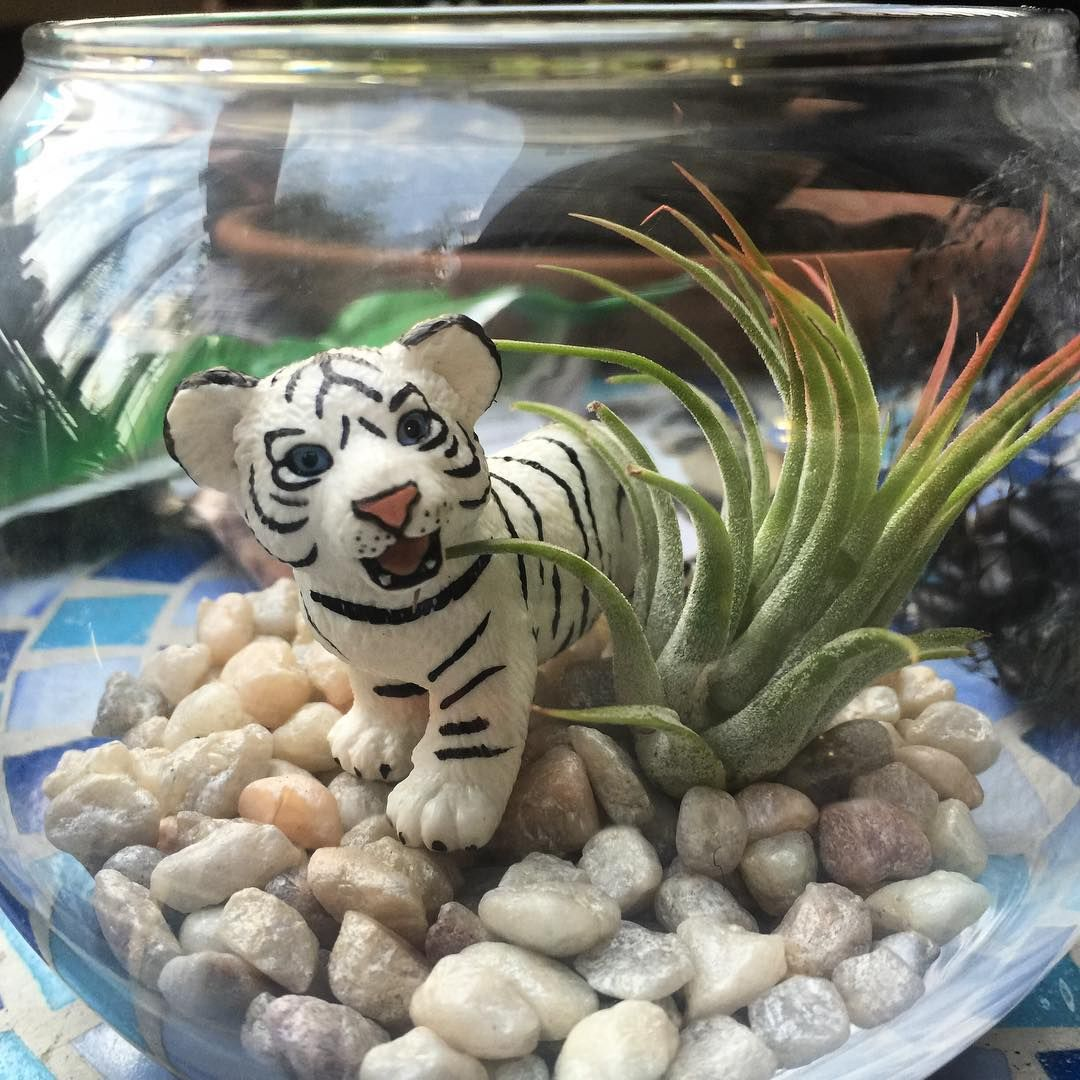 Today's fun project! #tillandsia #terrarium #tiger #airplant
