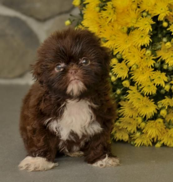 Greta Shih Tzu Puppy For Sale In Baltic Oh Lancaster Puppies