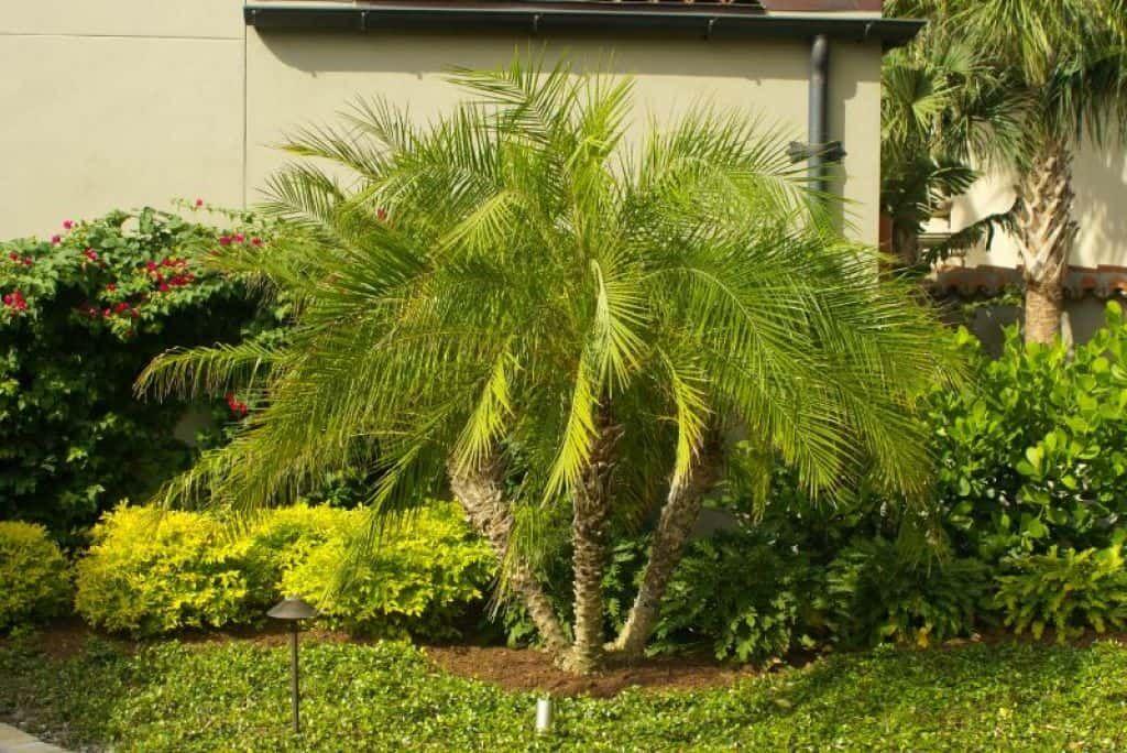 Planting pygmy date palm garden plants palm garden