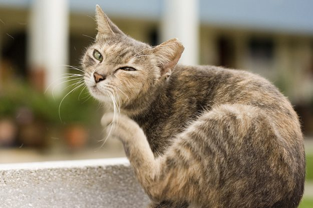 How to Tell if Your Cat Has Fleas 5 Telltale Signs Cat