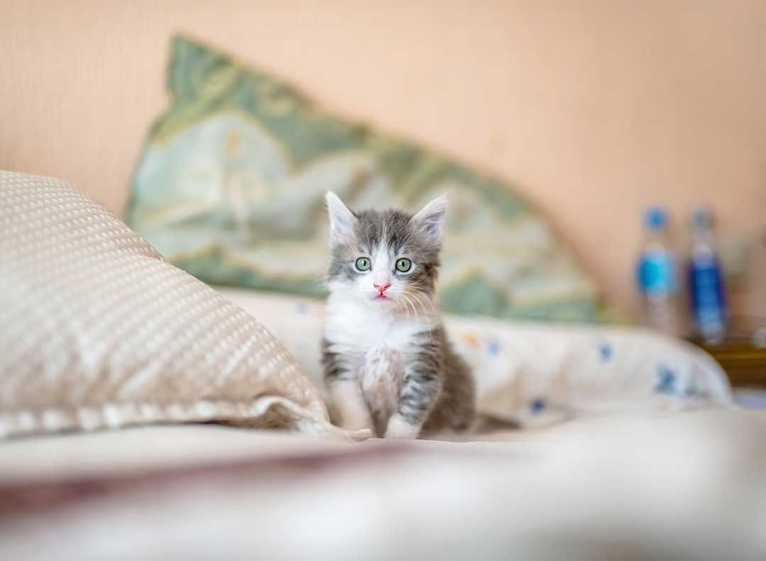 Berapa Lama Anak Kucing Bersama Ibunya Idealnya Di 2020 Anak Kucing Kucing Adopsi Kucing