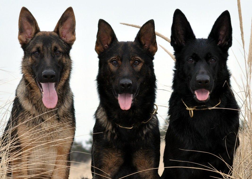 East german shepherd massachusetts