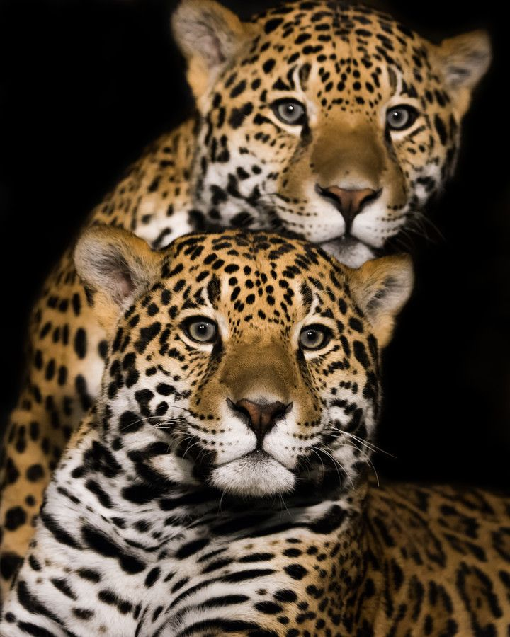 Jaguar Pair II by Abeselom Zerit on 500px