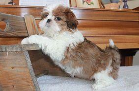 Shih Tzu Puppies In Colorado Co Free Colorado Superads With