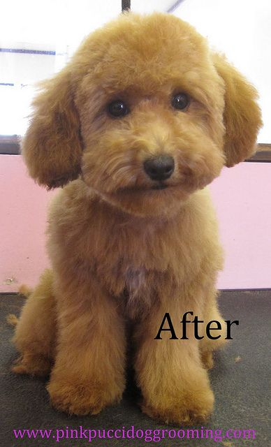 After Grooming Toy Poodle Poodle Haircut Dog Haircuts Puppy