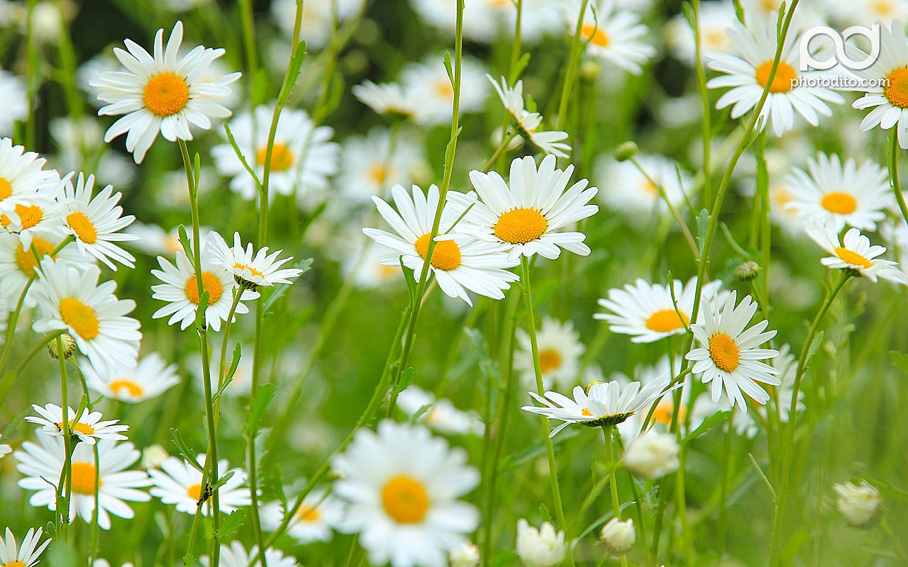 Daisy Flower Wallpapers Hd Pictures One Hd Wallpaper