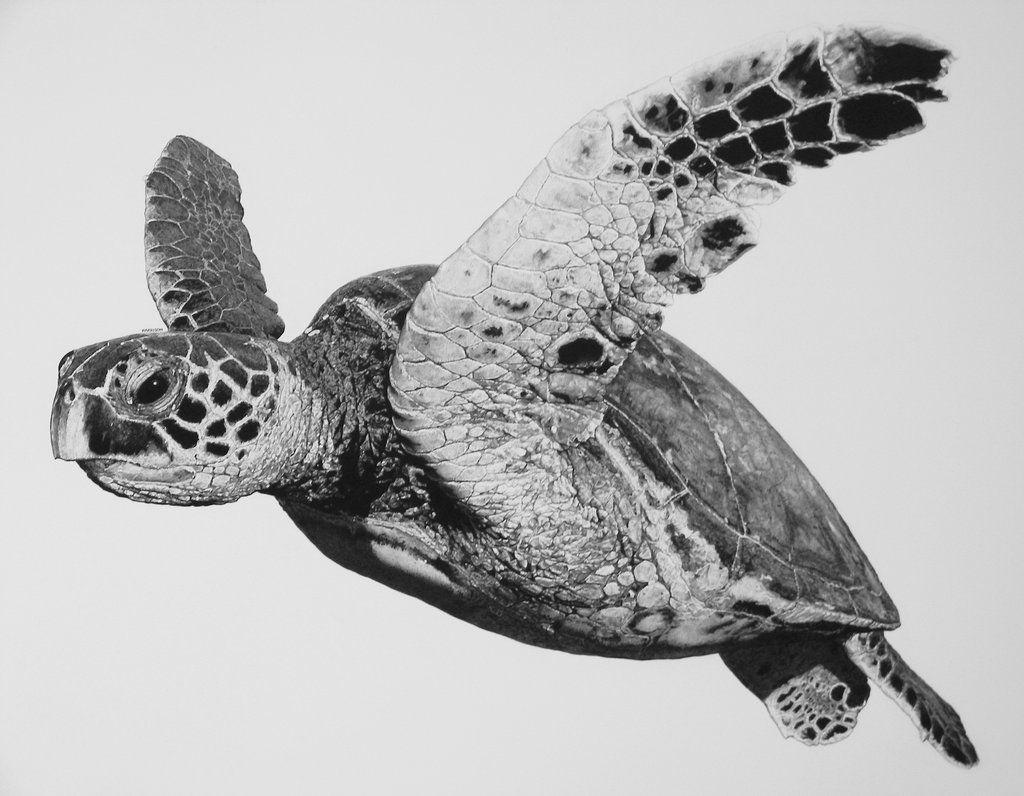 Hawksbill Turtle sketch, Sea turtle art, Sea turtle drawing