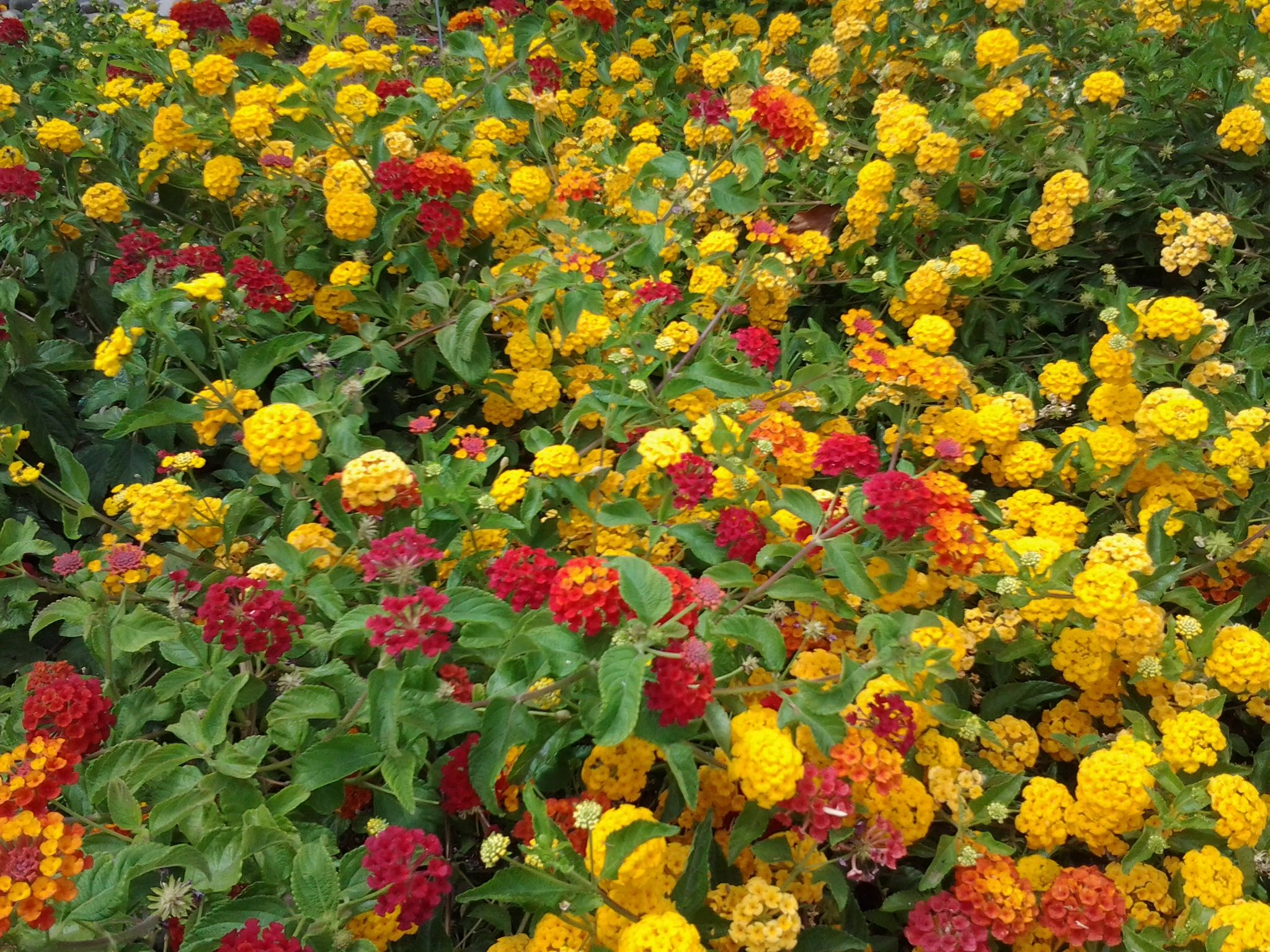 The best Drought Tolerant Plant - LANTANA - Red, Purple, White, Gold ...