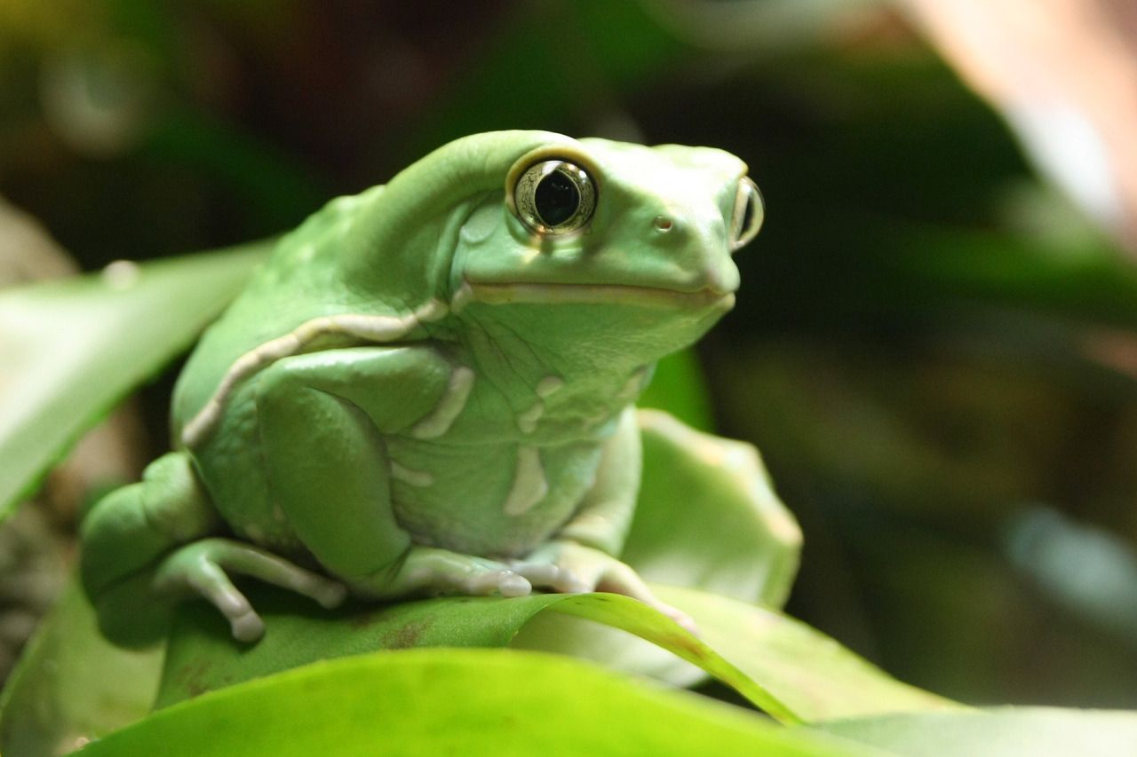 "zoology-bro: "" Waxy monkey frog. (Phyllomedusa sauvagii) The waxy monkey frog is a hylid frog native to the Chaco (dry prairie) of Argentina, Brazil, Bolivia, and Paraguay. Their common name describes them perfectly; their skin has a green, waxy..."