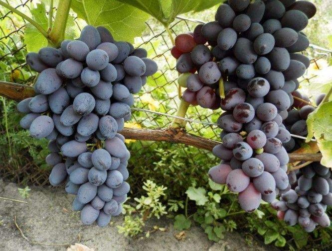Купить саженцы винограда сорт Юпитер | Виноград, Садовые ...