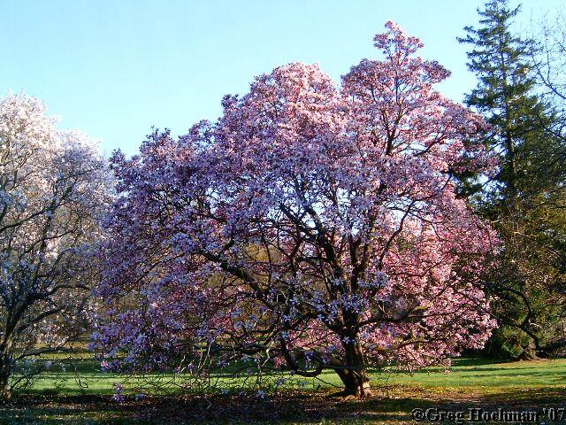 Magnolia Trees New Jersey Magnolia Trees Tree Flowering Trees