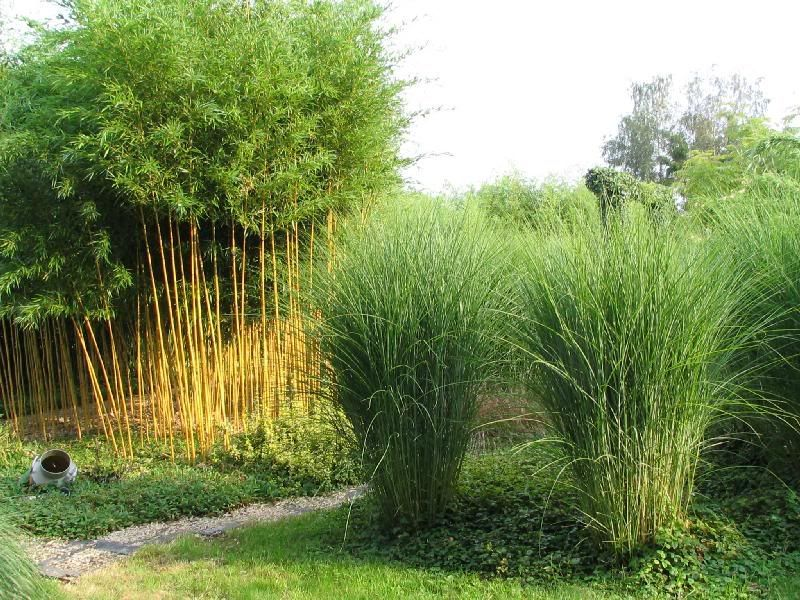 miscanthus sinensis gracillimus miskant chi ski c2 internetowy sklep ogrodniczy trawy. Black Bedroom Furniture Sets. Home Design Ideas