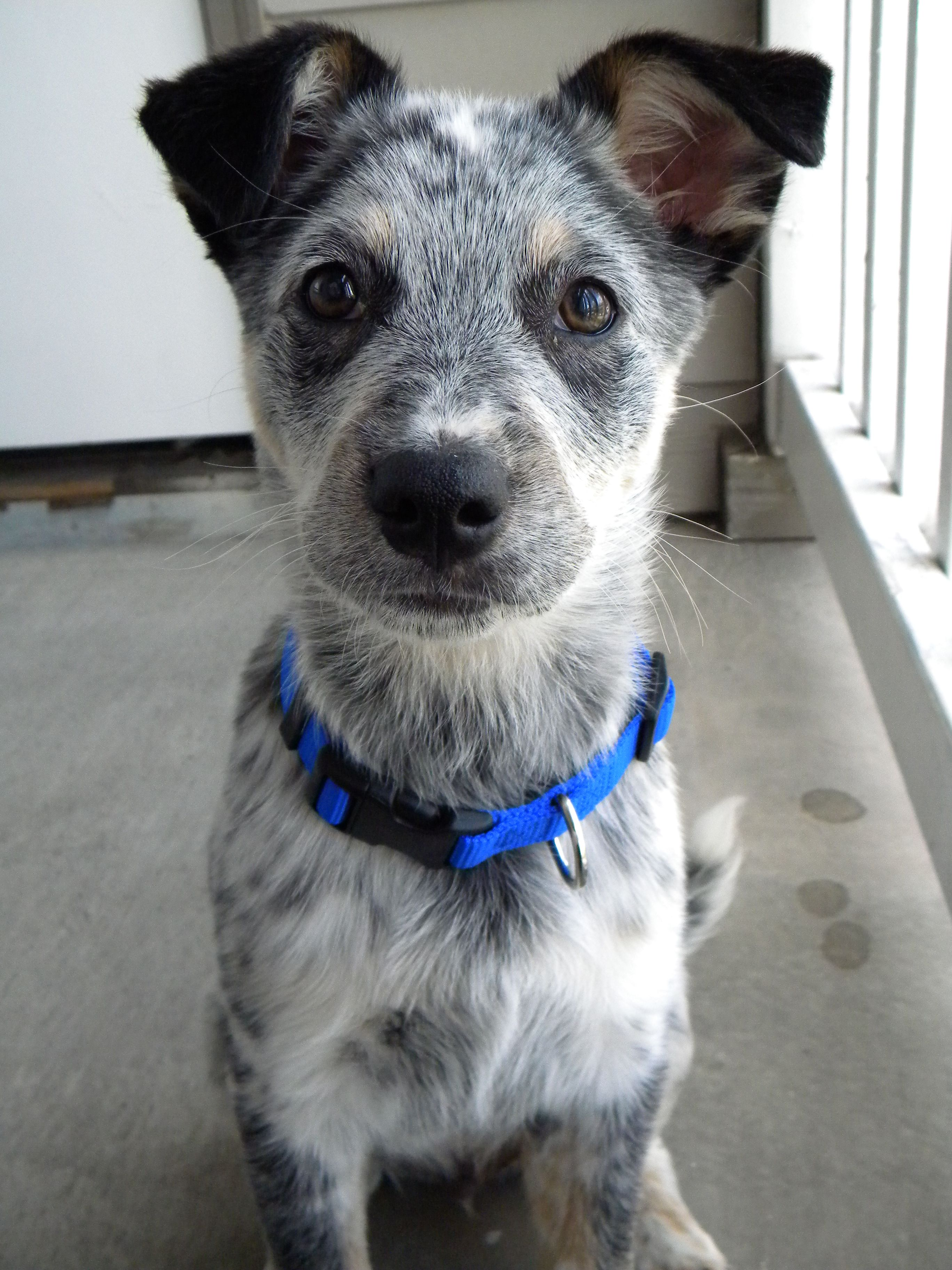 Blue Heeler/Border Collie Mix Puppy   Dogs